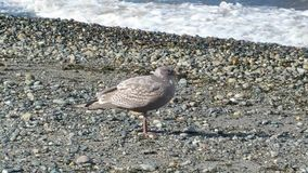 Seagull στην παραλία Στοκ Φωτογραφία