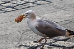 Seagull στην πόλη που περπατά γύρω με την πίτσα στο στόμα του Στοκ εικόνα με δικαίωμα ελεύθερης χρήσης