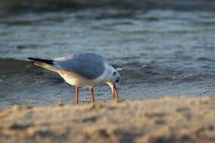 Seagull στη θάλασσα Στοκ εικόνα με δικαίωμα ελεύθερης χρήσης