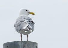 Seagull στη θέση Στοκ Εικόνα