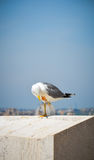 Seagull στη Ρώμη Στοκ φωτογραφία με δικαίωμα ελεύθερης χρήσης