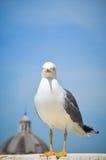 Seagull στη Ρώμη Στοκ Φωτογραφία