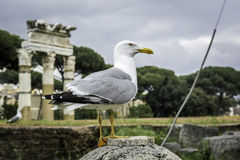 Seagull στη Ρώμη Στοκ Φωτογραφίες