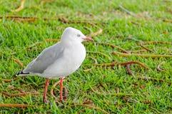 Seagull στη στεριά - τήβεννος στοκ φωτογραφίες
