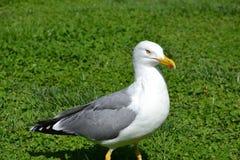 Seagull στη χλόη στοκ εικόνες