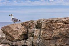Seagull στη δύσκολη προεξοχή στοκ εικόνες με δικαίωμα ελεύθερης χρήσης