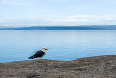 Seagull στον κόλπο μήνα του μέλιτος, Τασμανία Στοκ φωτογραφία με δικαίωμα ελεύθερης χρήσης