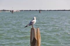 Seagull στον ξύλινο σωρό για τη ναυσιπλοΐα στο κανάλι της Βενετίας Στοκ φωτογραφία με δικαίωμα ελεύθερης χρήσης