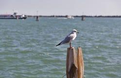 Seagull στον ξύλινο σωρό για τη ναυσιπλοΐα στο κανάλι της Βενετίας Στοκ Εικόνες
