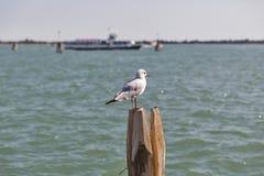 Seagull στον ξύλινο σωρό για τη ναυσιπλοΐα στο κανάλι της Βενετίας Στοκ Φωτογραφίες