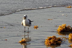 Seagull στον ωκεανό με τη χελώνα θάλασσας στο ράμφος Στοκ εικόνα με δικαίωμα ελεύθερης χρήσης