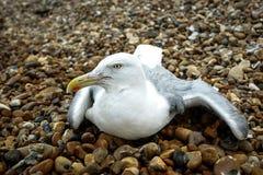 Seagull στους βράχους Στοκ Φωτογραφία