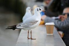 Seagull στο αστικό περιβάλλον με το φλυτζάνι καφέ Στοκ Εικόνες