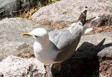 Seagull στο βράχο Στοκ εικόνα με δικαίωμα ελεύθερης χρήσης