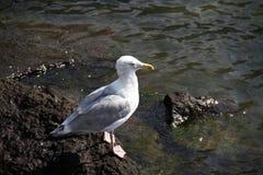 Seagull στο βράχο Στοκ εικόνες με δικαίωμα ελεύθερης χρήσης