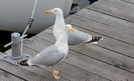 Seagull στο λιμάνι! Στοκ Φωτογραφίες