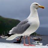 Seagull στο λιμένα Στοκ φωτογραφία με δικαίωμα ελεύθερης χρήσης