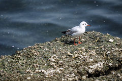 Seagull στο λιμένα Yokohama, Ιαπωνία Στοκ Εικόνες