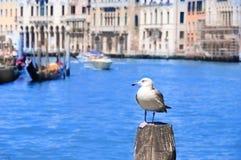 Seagull στο κανάλι, Βενετία, Ιταλία Στοκ Εικόνες