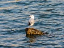 Seagull στο κούτσουρο στοκ εικόνες