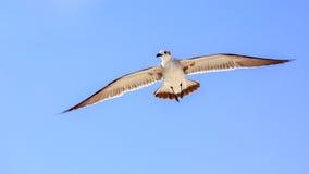 Seagull στο μπλε ουρανό Στοκ Φωτογραφία