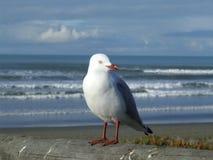 Seagull στο νέο Μπράιτον, Chch, Nz Στοκ φωτογραφία με δικαίωμα ελεύθερης χρήσης