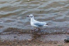Seagull στο ποταμό Αμούρ στοκ εικόνα