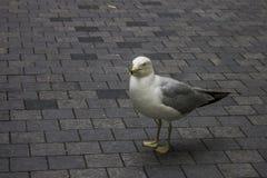 Seagull στο δρόμο πόλεων Στοκ εικόνες με δικαίωμα ελεύθερης χρήσης