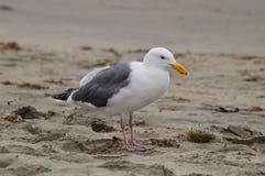 Seagull στο στοιχείο του Στοκ Εικόνες