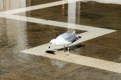 Seagull στο τετράγωνο SAN Marco στοκ φωτογραφίες