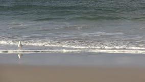 Seagull στο Palm Beach, Gold Coast, Queensland Αυστραλία απόθεμα βίντεο