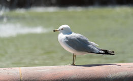Seagull συνεδρίαση σε μια μεγάλη πηγή πόλεων Στοκ Φωτογραφία