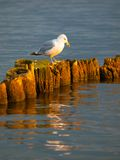 Seagull συνεδρίαση σε έναν στυλοβάτη Στοκ Εικόνα