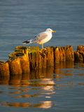 Seagull συνεδρίαση σε έναν στυλοβάτη Στοκ φωτογραφίες με δικαίωμα ελεύθερης χρήσης