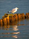 Seagull συνεδρίαση σε έναν στυλοβάτη Στοκ Φωτογραφίες