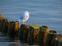 Seagull συνεδρίαση σε έναν στυλοβάτη Στοκ εικόνες με δικαίωμα ελεύθερης χρήσης