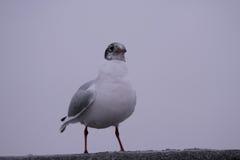 Seagull συνεδρίαση σε μια αποβάθρα Στοκ φωτογραφίες με δικαίωμα ελεύθερης χρήσης