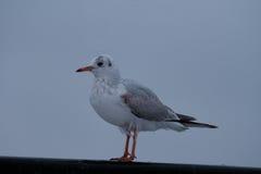Seagull συνεδρίαση σε μια αποβάθρα Στοκ φωτογραφία με δικαίωμα ελεύθερης χρήσης