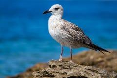 Seagull συνεδρίαση στους βράχους Στοκ Φωτογραφίες