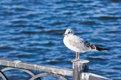 Seagull συνεδρίαση στο φράκτη Στοκ φωτογραφίες με δικαίωμα ελεύθερης χρήσης