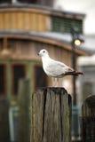 seagull σωρών Στοκ Εικόνα
