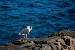 Seagull σύλληψη ένα starfidsh στοκ φωτογραφίες