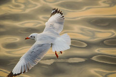 seagull Ταϊλάνδη Στοκ Φωτογραφία