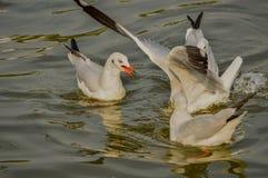 seagull Ταϊλάνδη Στοκ Εικόνες