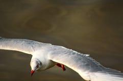 seagull Ταϊλάνδη Στοκ φωτογραφίες με δικαίωμα ελεύθερης χρήσης