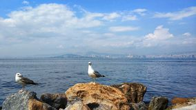 Seagull της Ιστανμπούλ στοκ φωτογραφίες