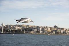 Seagull της Ιστανμπούλ Στοκ Εικόνες