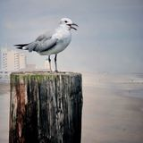 seagull της Καρολίνας παραλιών στοκ εικόνα με δικαίωμα ελεύθερης χρήσης