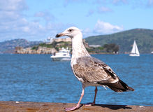 Seagull τοποθέτηση μπροστά από το νησί Alcatraz Στοκ εικόνα με δικαίωμα ελεύθερης χρήσης