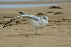 Seagull τοποθέτηση σε μια παραλία Στοκ φωτογραφία με δικαίωμα ελεύθερης χρήσης